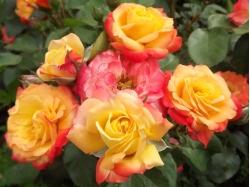Розы. Архив