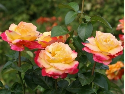 Розы чайногибридные