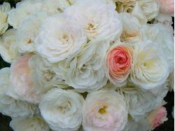 Розы мускусные гибриды