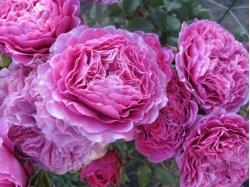 Розы Гийо Массад
