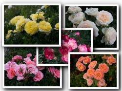 Розы: Выбор по фильтру